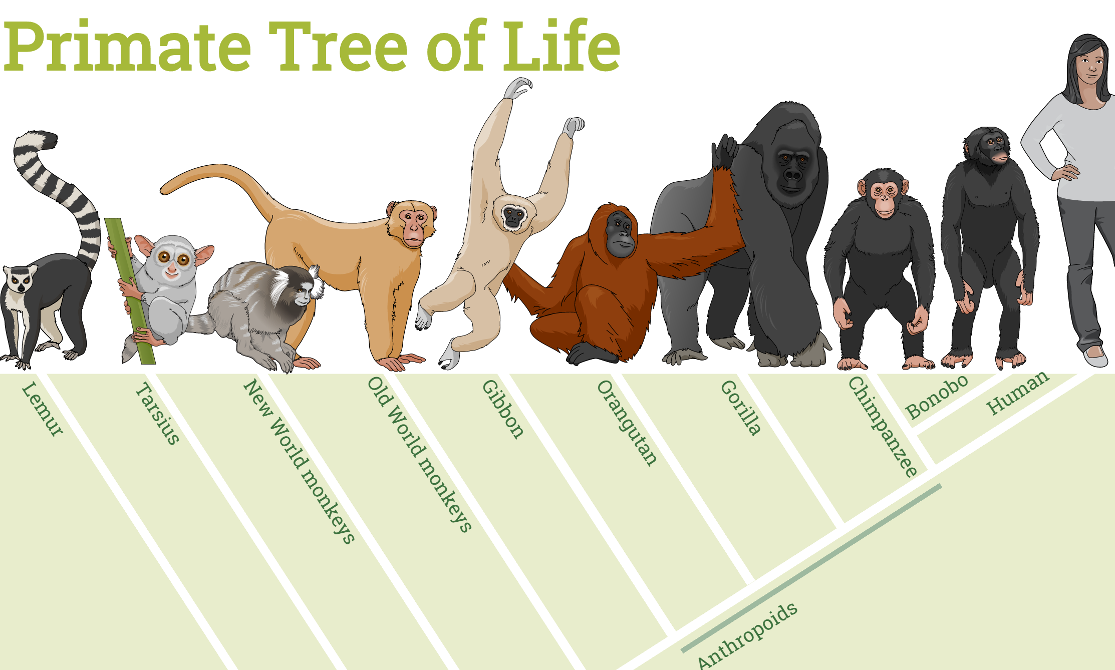 Infographics: Primates Family Tree