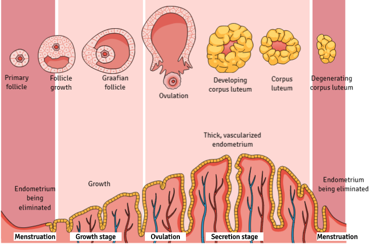 New scientific illustrations and infographics of gynecology and embryology