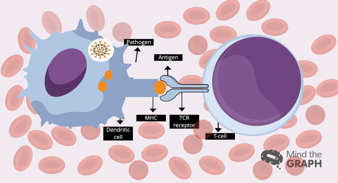 New scientific data: Time is the answer for immune cell signalling